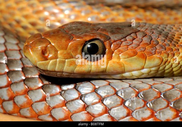 Baird´s Rat Snake (Elaphe obsoleta bairdi) - Stock Image