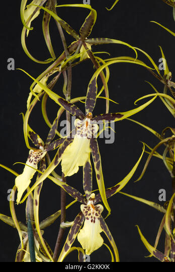 Flowers of a spider type orchid Brassidium 'Shooting Star', pot grown house plant - Stock Image