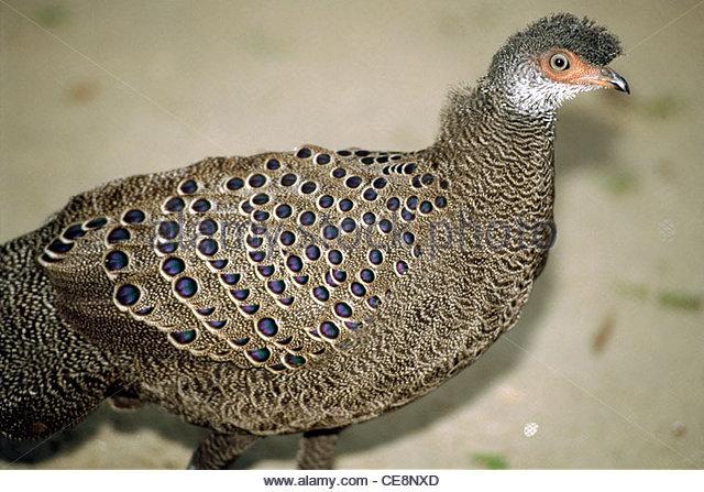 PSL 80109 : Bird Deodarika - Stock Image