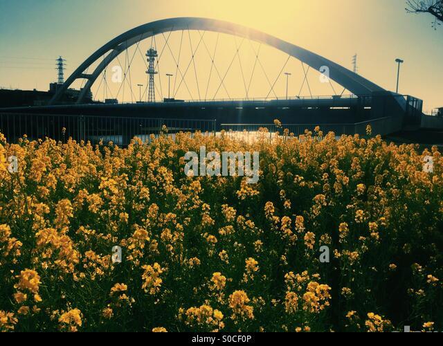 Tsurumigawabashi or Tsurumi River Bridge in Yokohama, Japan, with yellow field mustard in foreground before sunset. - Stock Image