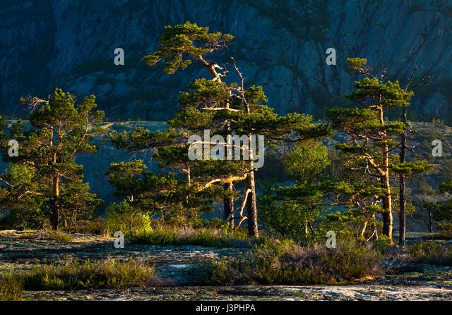 Pine trees in early morning sunlight in Nissedal, Telemark, Norway. - Stock-Bilder