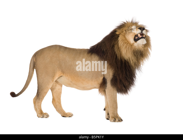 Lion 4 and a half years Panthera leo in front of a white background - Stock Image
