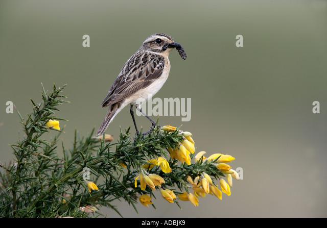 WHINCHAT Saxicola rubetra Female Wales - Stock-Bilder