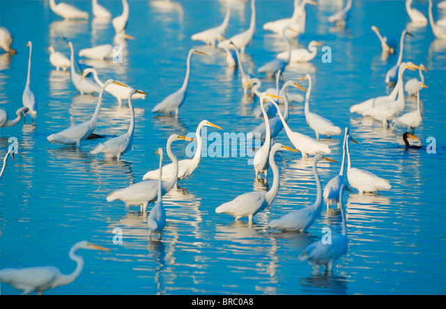 Great egrets looking for fish in pond, Sanibel Island, J. N. Ding Darling National Wildlife Refuge, Florida, USA - Stock Image
