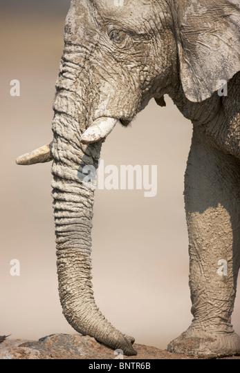 Close-up profile of a very muddy elephant bull; Etosha - Stock Image