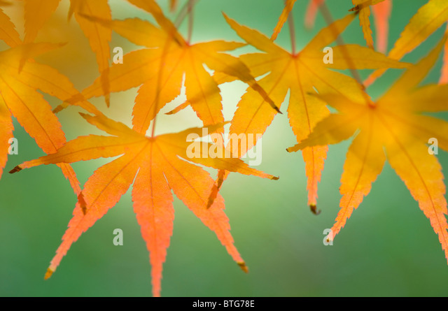 Close-up image of the vibrant Autumn/Fall coloured leaves of Acer Palmatum the Japanese Maple tree, image taken - Stock Image