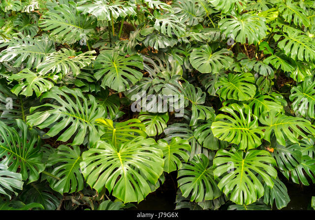Swiss cheese stock photos swiss cheese stock images alamy for Monstera deliciosa