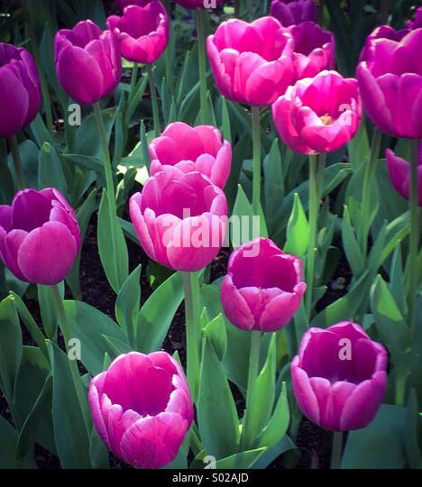 Purple tulips bloom - Stock Image