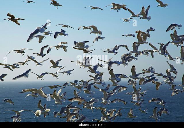 Herring gulls, England, United Kingdom, Europe - Stock Image