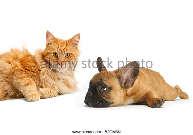 Maine Coon Cat french Bulldog Maine Coon aninmal friendship funny droll fun - Stock Image