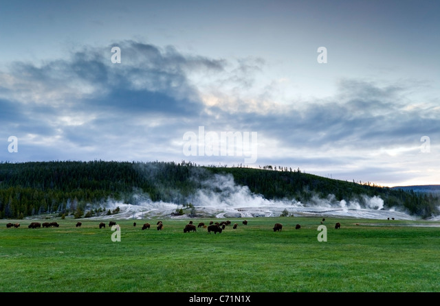 A herd of buffalo graze in front of Upper Geyser Basin in Yellowstone National Park, Wyoming. - Stock-Bilder