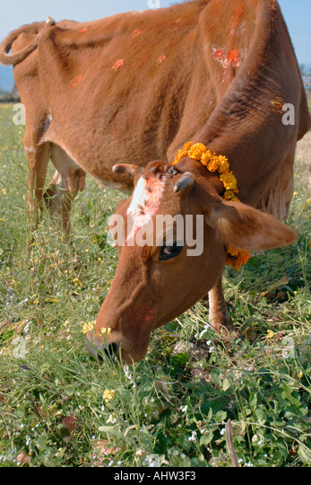 Cow with Pooja in Kathmandu valley Nepal - Stock Image