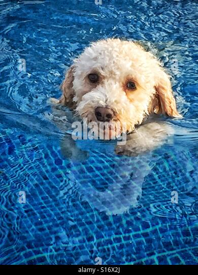 A miniature Labradoodle swims in a blue tiled swimming pool. - Stock-Bilder