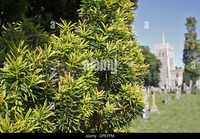Taxus Baccata Fastigiata Stock Photos & Taxus Baccata ...