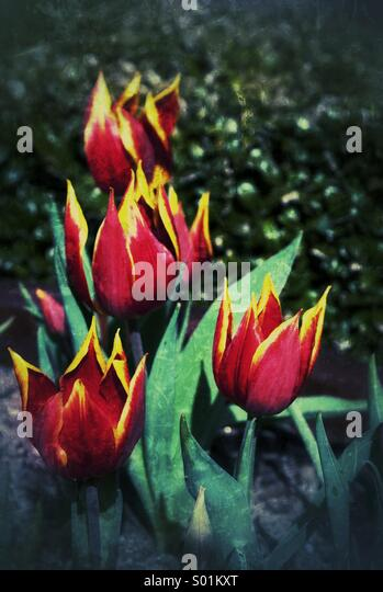 Tulips... In Amsterdam - Stock Image