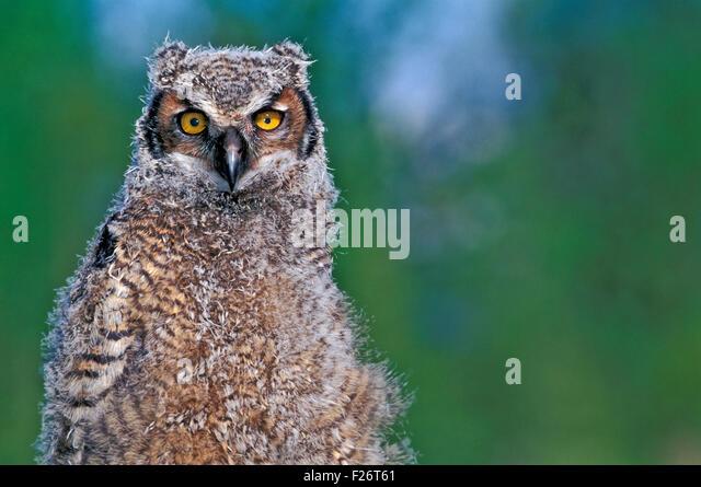 Young Great Horned Owl, portrait closeup - Stock-Bilder