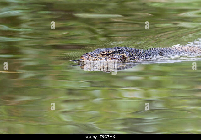 Malayan water monitor (Varanus salvator) uses its forked tongue to sense from which direction a scent is coming - Stock Image