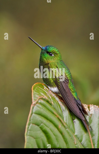 Saphire-vented Puffleg (Eriocnemis luciani) perched on a branch at the Yanacocha reserve near Quito, Ecuador. - Stock Image