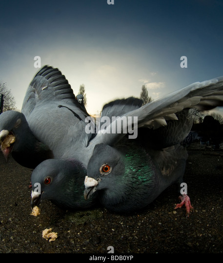 Pigeons lunging for food, London - Stock-Bilder