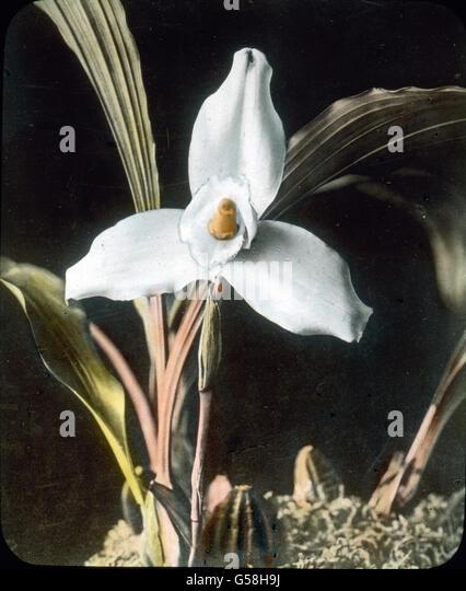 Eine Orchideenart, mit reizendem Farbenspiel. India, Asia, travel, botany, orchid, flower, blossom, history, historical, - Stock Image