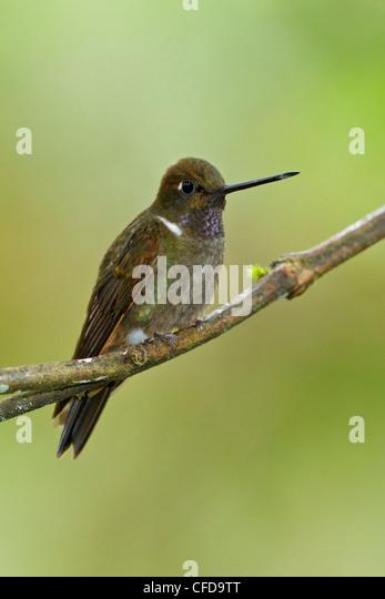 Brown Inca hummingbird (Coeligena wilsoni) perched on a branch in Ecuador. - Stock Image