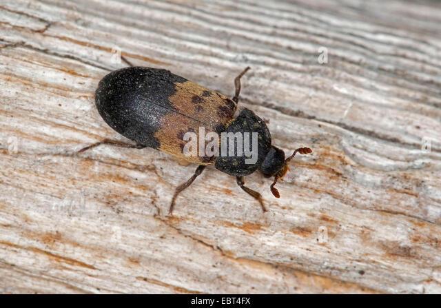 larder beetle, common larder beetle, bacon beetle (Dermestes lardarius), sitting on wood, Germany - Stock Image
