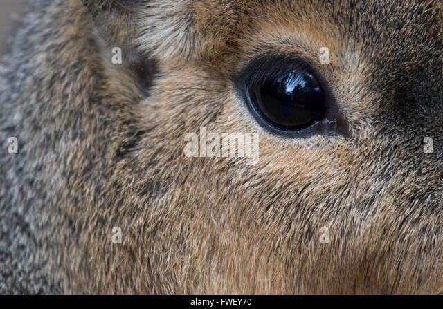 Eye of a Patagonian cavy in a zoo in the Netherlands - Stock Image