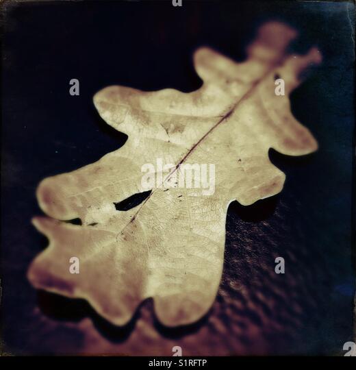 Autumnal Oak leaf - Stock Image