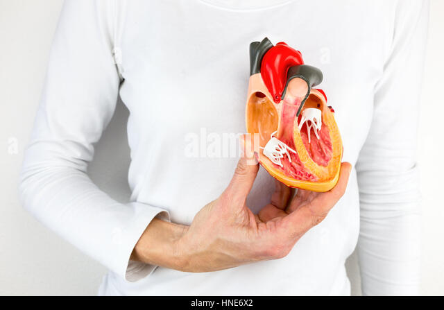 Female hand holding open human heart model at body - Stock Image