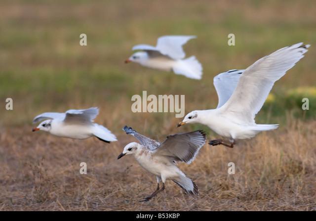 Mediterranean Gull, Larus melanocephalus flying juvenile, 1-st winter and adult winter - Stock Image