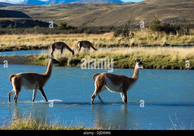 Two Guanacos(Lama guanicoe)crossing a river in Torres del Paine National Park.Patagonia.Chile - Stock-Bilder