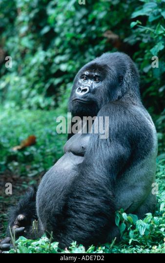 Mountain Gorilla Gorilla gorilla beringei Silverback male Distribution Rwanda Uganda DRC P N des Volcans Rwanda - Stock Image