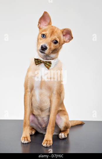 Basenji mix chihuahua sitting mournfully with bow tie with one ear down - Stock Image
