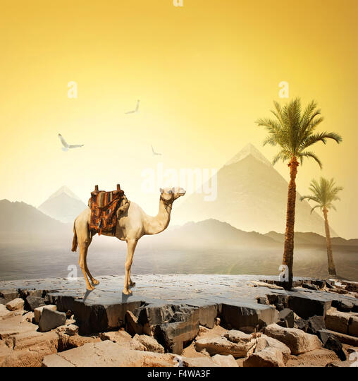 Camel and birds near the great pyramid - Stock Image