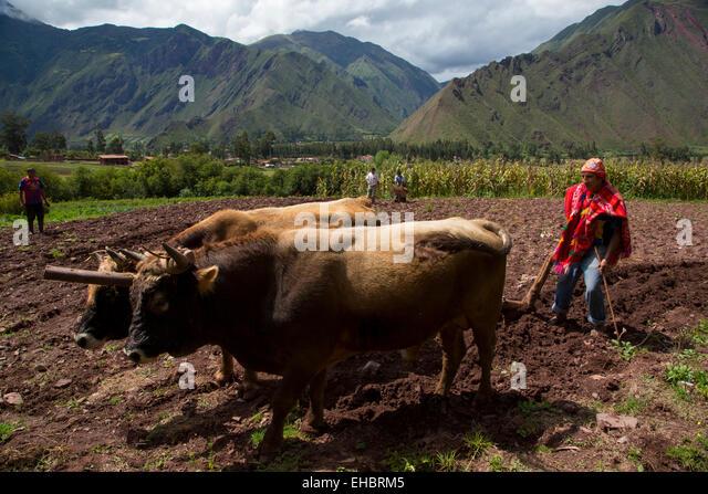Oxen plowing, farm, Sacred Valley, Cusco Region, Urubamba Province, Machupicchu District, Peru - Stock Image