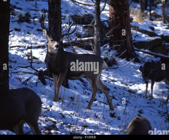 Deer Mules Winter - Stock Image