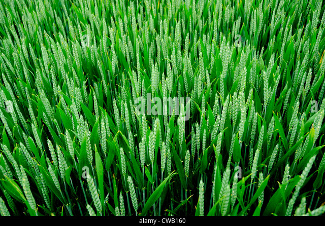 A FIELD OF GREEN WHEAT , OR  WHEATFIELD - Stock Image