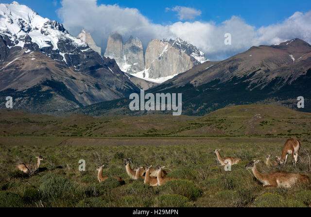 Wild guanacos. Torres del Paine National Park. Patagonia. Chile - Stock Image