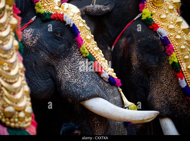 Close Up Of Decorated Elephants With Tusks During A Parade At Jagannath Temple Festival, Thalassery, India - Stock Image