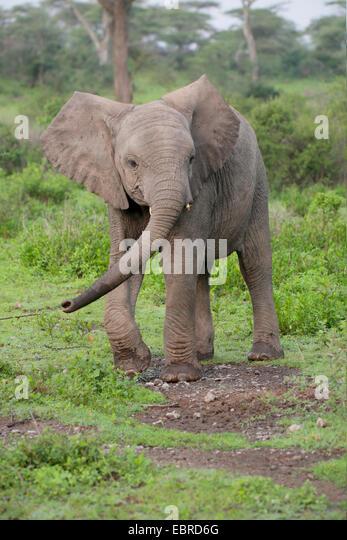 African elephant (Loxodonta africana), elephant calf walking in the Serengeti, Tanzania, Serengeti National Park - Stock Image