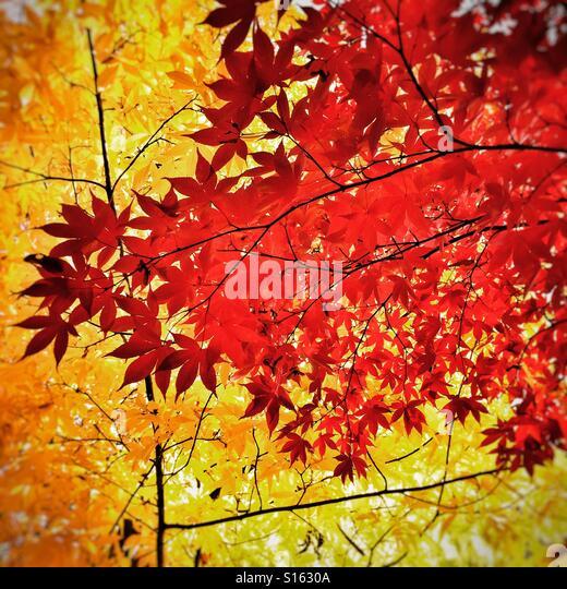 Autumn foliage and leaves at Westonbirt Arboretum - Stock-Bilder