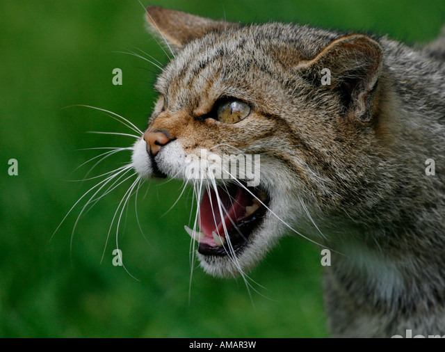 Scottish Wildcay snarling and being aggressive - Stock-Bilder