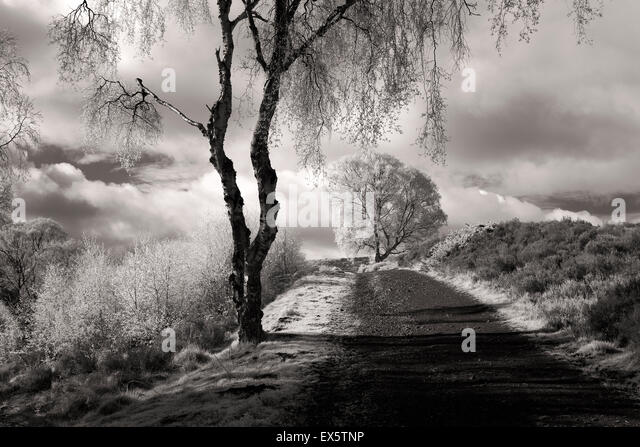 Black and white landscape photograph of Silver Birch trees along Sherbrook Valley path in spring on Cannock Chase - Stock Image