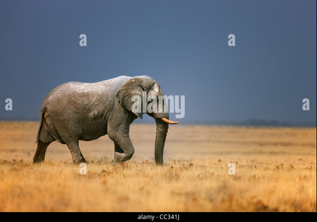 Elephant bull walking in open grassfield; Loxodonta Africana; Etosha - Stock-Bilder