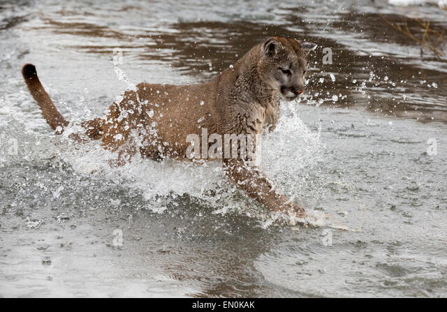 Mountain Lion (Felis concolor) running through a river in Winter - Stock Image