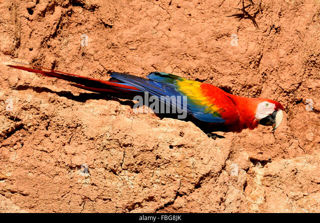 Scarlet Macaw (Ara macao) on clay wall, Manu National Park, UNESCO World Heritage Site, Peru - Stock Image