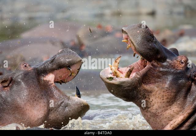 Hippos fighting Hippopotamus amphibius Ratama Pool Seronera River Serengeti Tanzania - Stock-Bilder