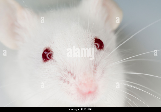White Mouse - Stock Image