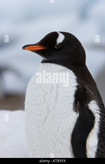 Portrait of a fluffy Gentoo penguin (Pygoscelis papua) - Stock Image