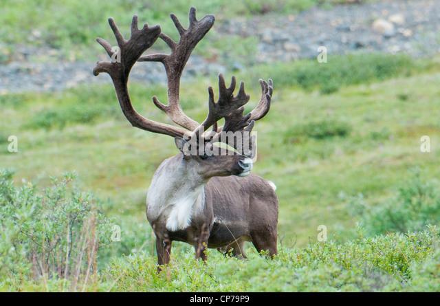 Real caribou antlers